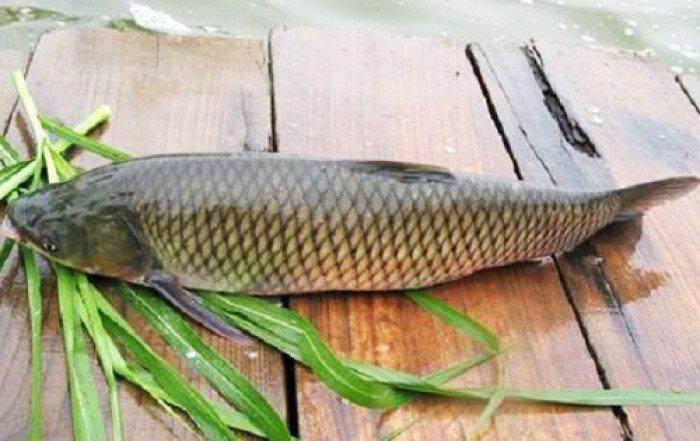 Cá trắm đen là nguyên liệu chính của món ăn này